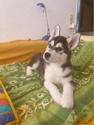 Reinrassige Siberian Husky Welpen Whatsapp +4915214389093.