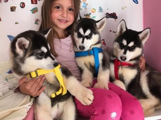 Reinrassige Siberian Husky Welpen Whatsapp +4915214389093