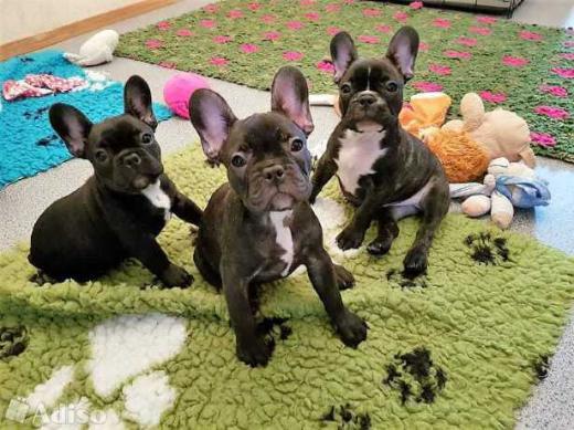 *Französische Bulldoggen Welpen Whatsapp +4915214389093*