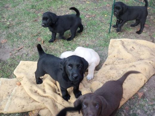 Labrador Welpen Whatsapp +4915214389093