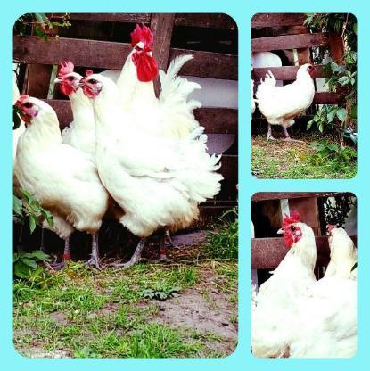 Bruteier von Bleu Bresse Gauloise Weiß Reinrassig ( hatching eggs )