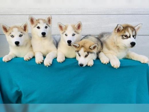 Siberian Husky Welpen Whatsapp +4915214389093,