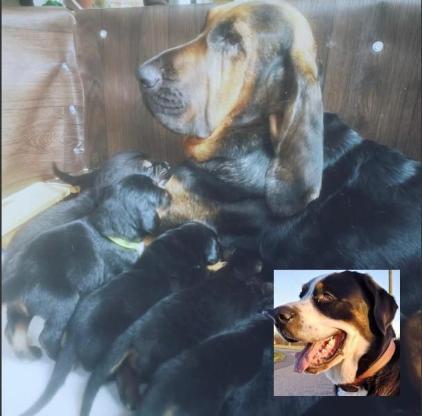 Großer Schweizer Sennenhund, Bloodhound, Welpen, Hofhund, Familienhund
