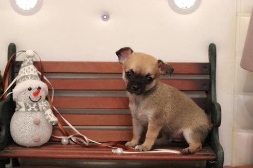 Kleine Chihuahua Welpen