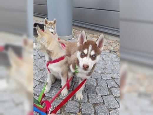 Siberian Husky Welpen  Whatsapp +4915214389093,,
