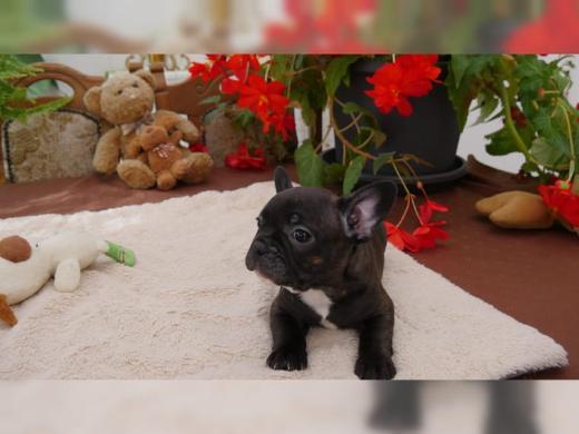 Französische Bulldoggen Welpen Whatsapp +4915214389093.