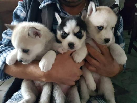 Siberian Husky  Welpen  Whatsapp +4915214389093
