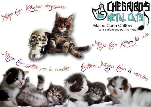 *Maine Coon Kitten*