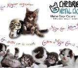 *Maine Coon Kitten* - Münster